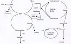 Role probable de l'ammoniac dans les incoordinations motrices transitoires des chevaux de course